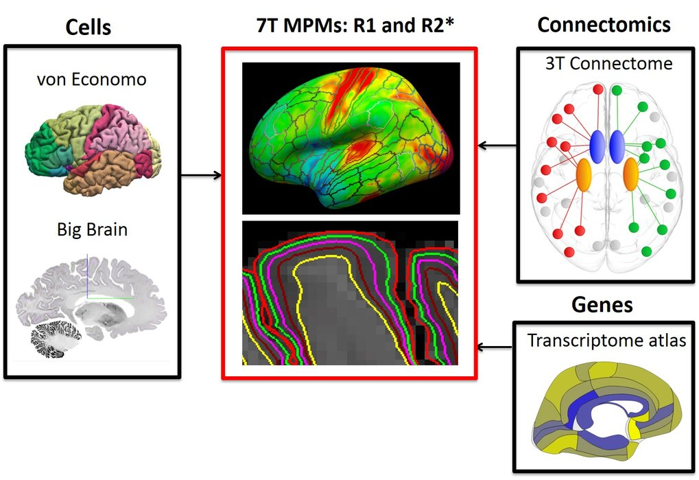 Relating layer-specific quantitative 7T MRI to histology, gene expression and connectomics
