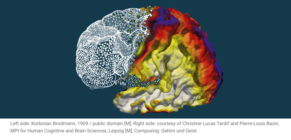 Anatomical Analysis of the Organization of the Human and Non-Human Primate Brain