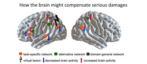 For specific cognitive abilities such as language compensation can be achieved in two ways. On the one hand the still intact areas of the network, which are specialized in that specific function, can take on more responsibility. On the other hand, nearby networks which normally may not contribute to that function, could be activated.